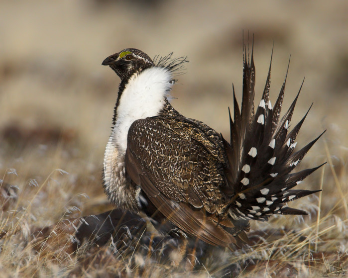 Sage Grouse vs transmission lines