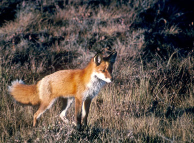 red fox research paper