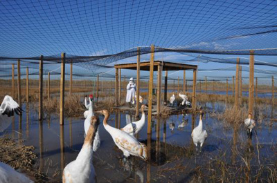 Whooping cranes in Louisiana