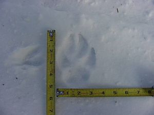 wolf_track_ruler_411021_7