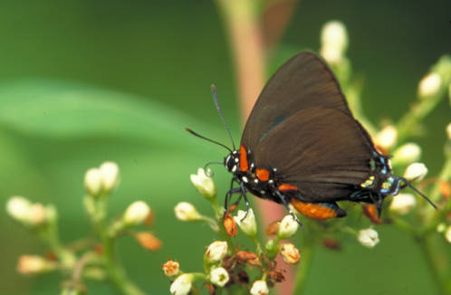 Great_purple_hairstreak_on_Common_dogbane
