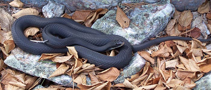 black racer NH