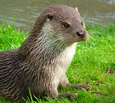 euro_otter_by_Catherine_Trigg