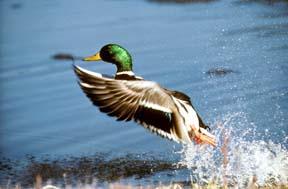 Ducks vs. Ethanol