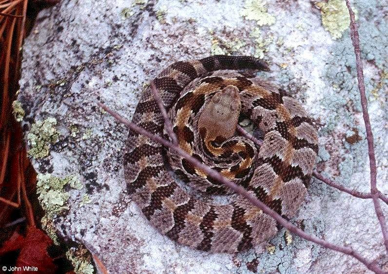coiled timber rattlesnake