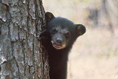 FWC black bear cub