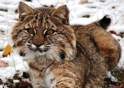 NYS bobcat