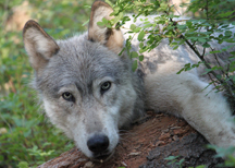A male wolf from Oregon