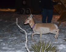 A pronghorn is released in western Colorado