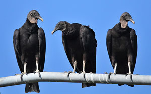 Black vulture range lags behind climate change
