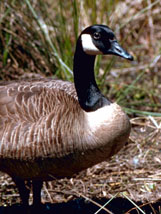 Canada goose in Alabama
