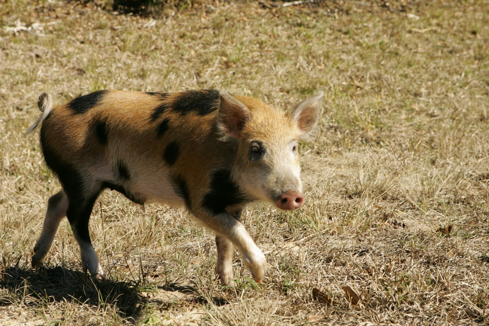 feral swine piglet