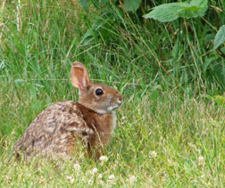 New England cottontail in Maine