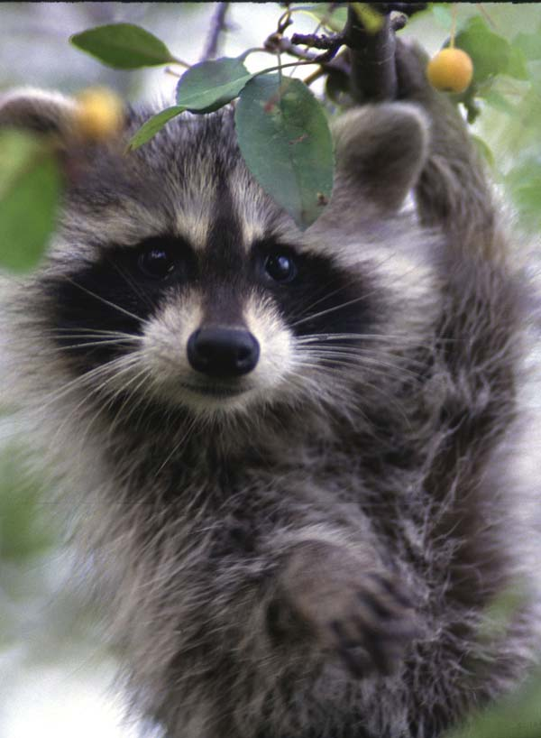 More raccoons survive rabies with shots