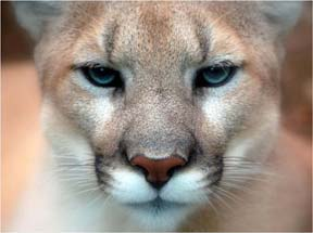 mo mountain lion