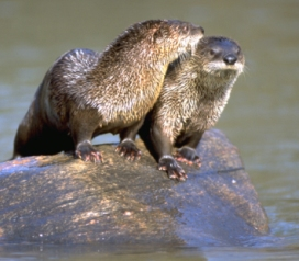 otter_pair_maxwell