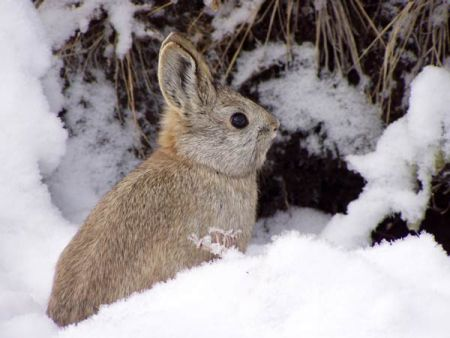pygmy rabbit