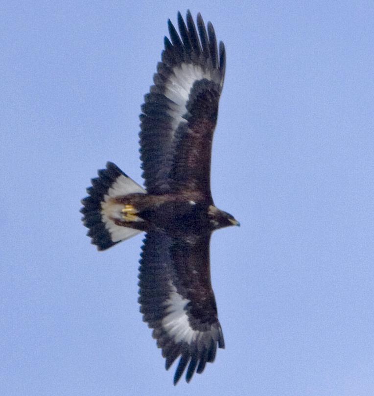 golden eagle usfws
