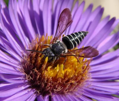 cleptoparasitic bee