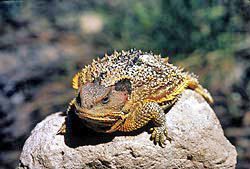 shortHornedLizard
