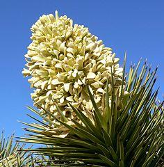 Yucca_brevifolia_inflorescence