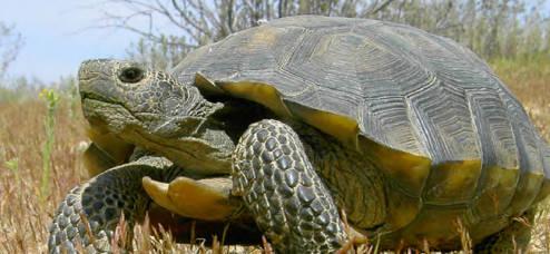 Desert_tortoise