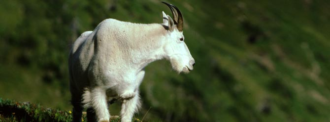 mtn goat wyoming