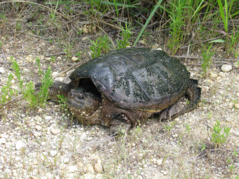 Snapping_Turtle