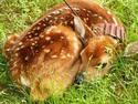 collared fawn Indiana