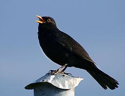Euro blackbird