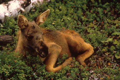 Moose_Calf
