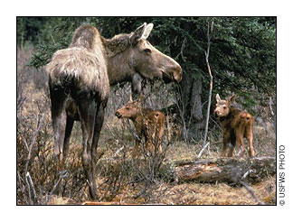 Moose-and-calves-USFWS