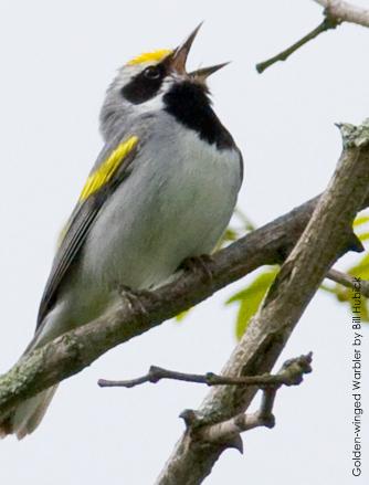 golden-winged_warblerBill-Hubick