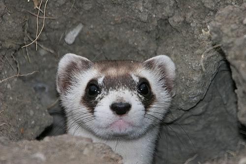 black-footed ferret closeup