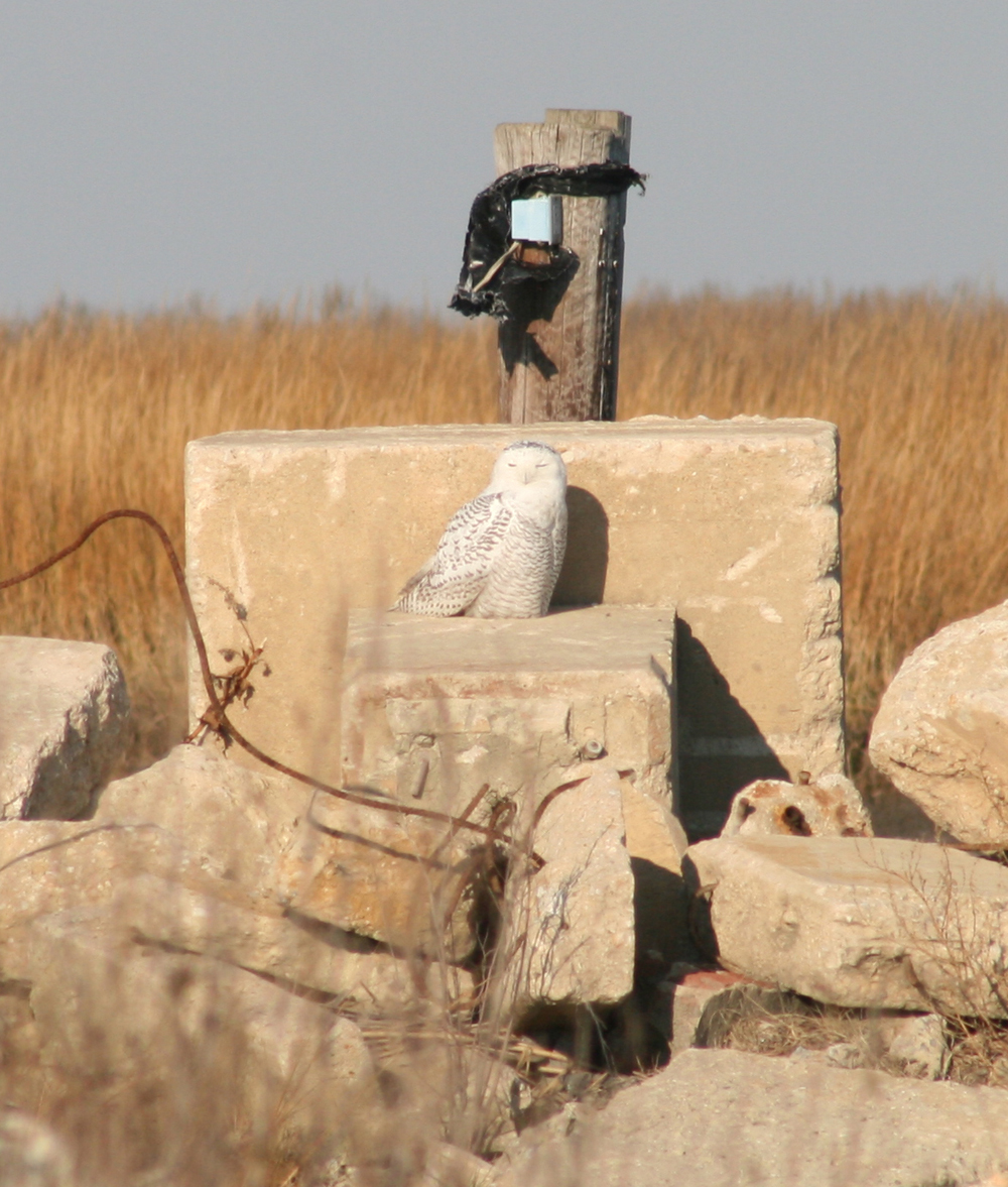 Snowy owl at Port Mahon - photo by Chris Bennett-DNREC