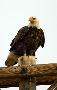 bald_eagle utah