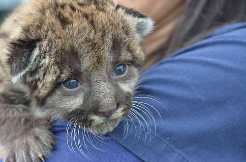 Florida panther kitten FWC