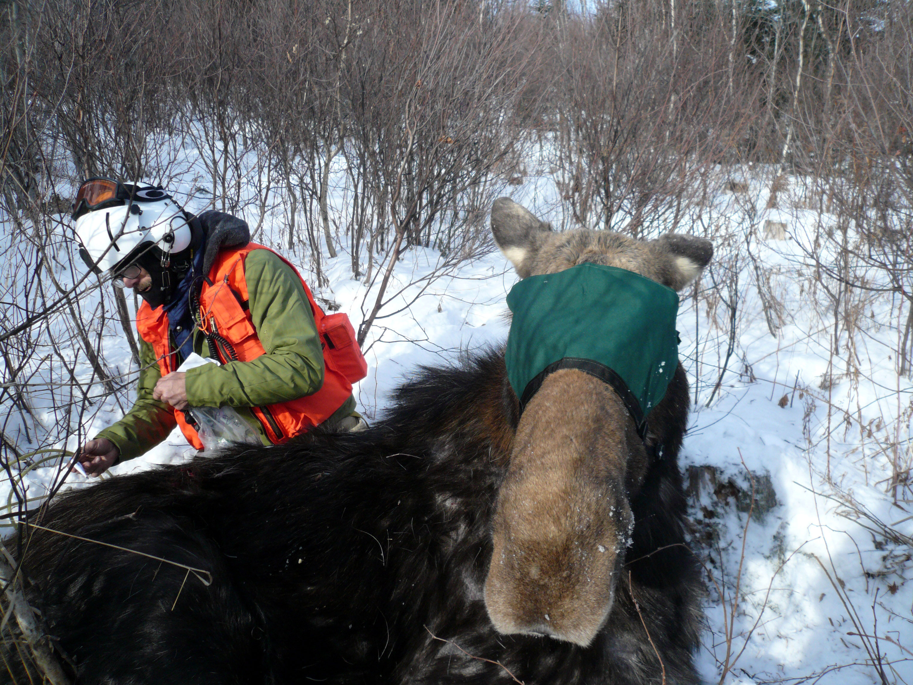 NH moose_collaring_Jan2014